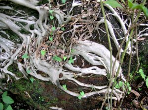 Monsoon Gully - fig tree on rock